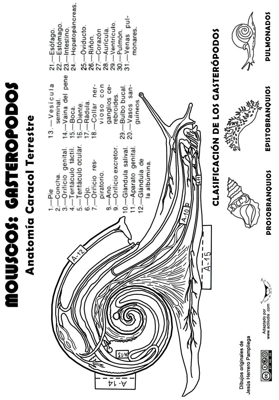 Molusco-gasteropodo-caracol-plantilla - Actiludis