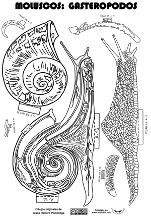 Molusco-gasteropodo-caracol - Actiludis